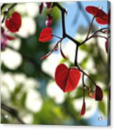 Forest Pansy Redbud Leaves In Spring Acrylic Print