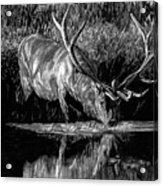 Forest Royal Bull Elk Acrylic Print