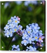 Forget Me Not 1 Acrylic Print