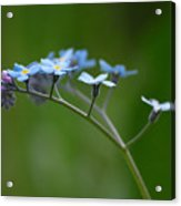 Forget-me-not 2 Acrylic Print