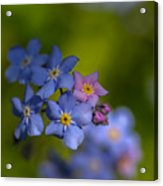 Forget Me Not 2 Acrylic Print