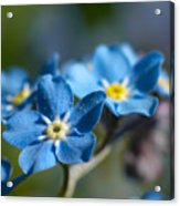 Forget -me-not 3 Acrylic Print