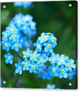 Forget -me-not 4 Acrylic Print