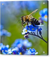 Forget Me Not Bee 2 Acrylic Print
