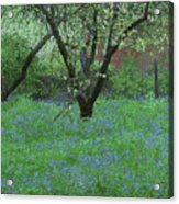 Forget Me Not Flowers Acrylic Print