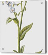 Forget Me Not Acrylic Print