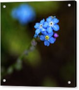 Forget-me-not Acrylic Print