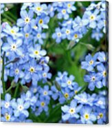 Forget-me-nots Acrylic Print