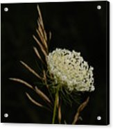 Formal Queen Anne's Lace Study Portrait Acrylic Print