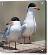 Forster's Terns Acrylic Print