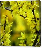 Forsythia At The Hacienda Acrylic Print