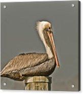 Fort Pierce Pelican Acrylic Print