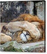 Fort Worth Zoo Sleepy Lion Acrylic Print