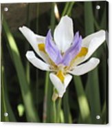 Fortnight Lily Acrylic Print