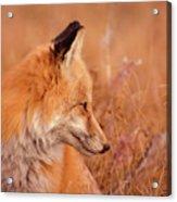 Found Fox Acrylic Print