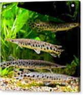 Four Aquarium Fishes In Zoo Acrylic Print