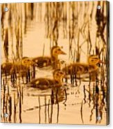 Four Baby Duckies Acrylic Print