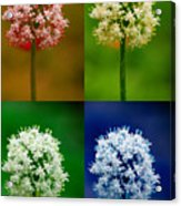 Four Colorful Onion Flower Power Acrylic Print