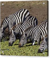 Four For Lunch - Zebras Acrylic Print