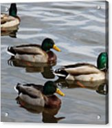 Four Green Heads Acrylic Print