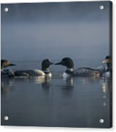 Four Loons Circling On Water Acrylic Print