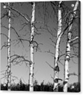 Four Naked Birches Bw Acrylic Print