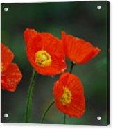 Four Poppies Acrylic Print