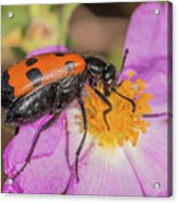 Four-spotted Blister Beetle - Mylabris Quadripunctata Acrylic Print