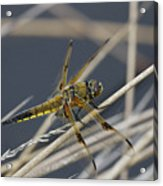 Four Spotted Chaser Acrylic Print