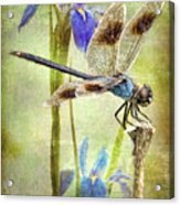 Four Spotted Pennant And Louisiana Irises Acrylic Print by Bonnie Barry