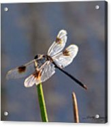 Four Spotted Pennant On A Reed Acrylic Print