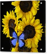 Four Sunflowers And Blue Butterfly Acrylic Print
