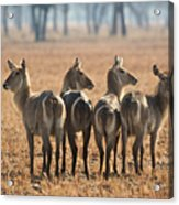 Four Waterbucks Acrylic Print