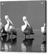 Four White Pelicans In A Funny Pose Acrylic Print