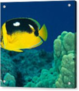 Fourspot Butterflyfish Acrylic Print