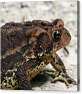 Fowler's Toad #2 Acrylic Print