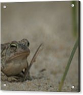 Fowlers Toad Acrylic Print