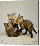 Fox Cubs At Play Acrylic Print