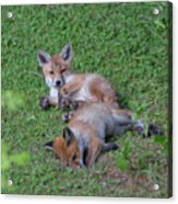 Fox Cubs Chilling Out Acrylic Print