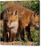Fox Cubs Playing Acrylic Print by William Jobes