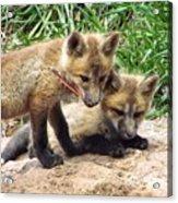 Fox Feather Play Acrylic Print
