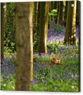 Fox In Bluebells Acrylic Print