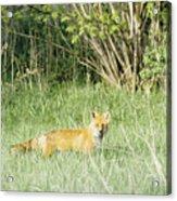 Fox In Meadow Acrylic Print