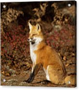 Fox In The Fall Acrylic Print