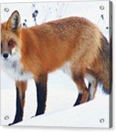 Fox On The Prowl Acrylic Print
