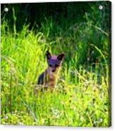 Fox Pup Acrylic Print