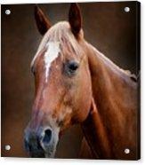 Fox - Quarter Horse Acrylic Print