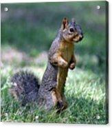 Fox Squirrel Acrylic Print