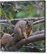 Fox Squirrel On A Branch  Acrylic Print