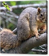 Fox Squirrel On A Branch - Southern Indiana Acrylic Print